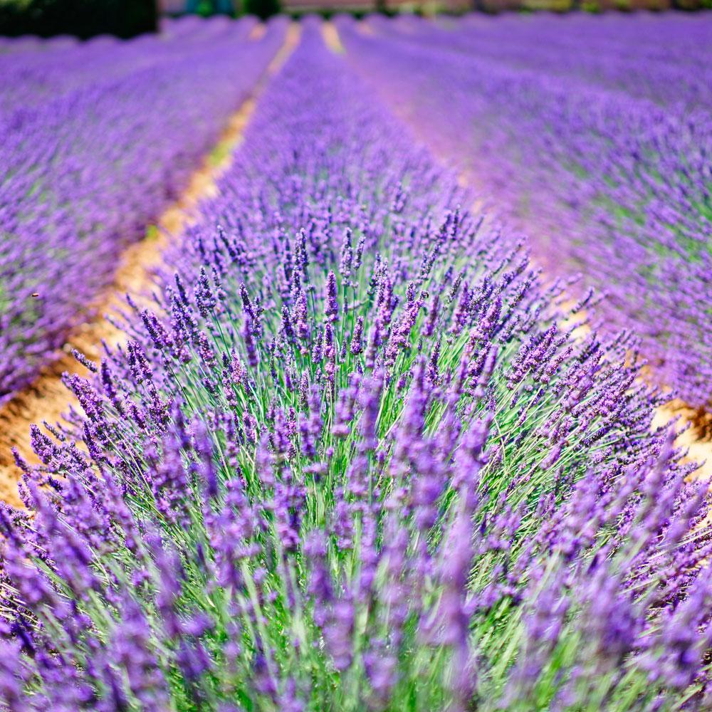 Lavendel_1000